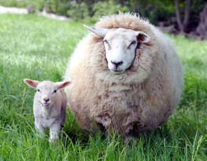 Sheep in field wool duvets